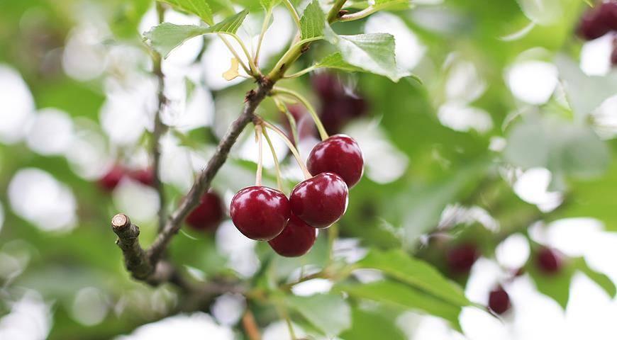 Черешня тютчевка — садовая красавица с полезными и вкусными плодами