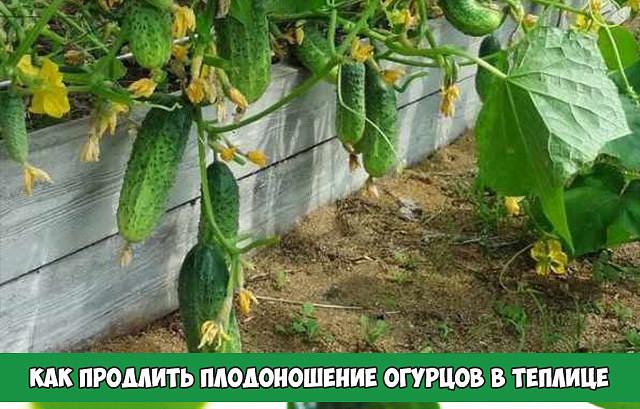 Почему огурцы в теплице не растут или растут плохо, чем их подкормить?
