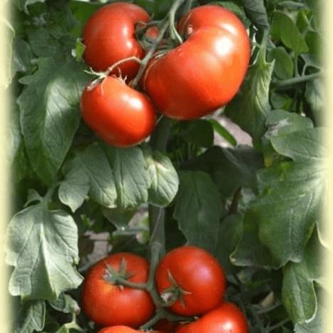 Описание сорта томата стрега его характеристика и урожайность