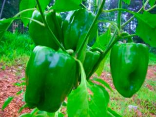 Перец адмирал ушаков — полезные советы по выращиванию