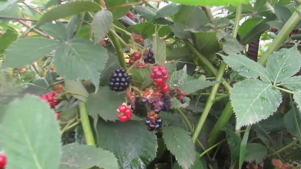 Сорт чачанска бестрна: противоречивая сербская ягода