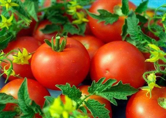 Сорта томатов для выращивания в ленинградской области