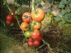 Описание и характеристика помидор благовест – выращивания сорта в открытом грунте и теплице