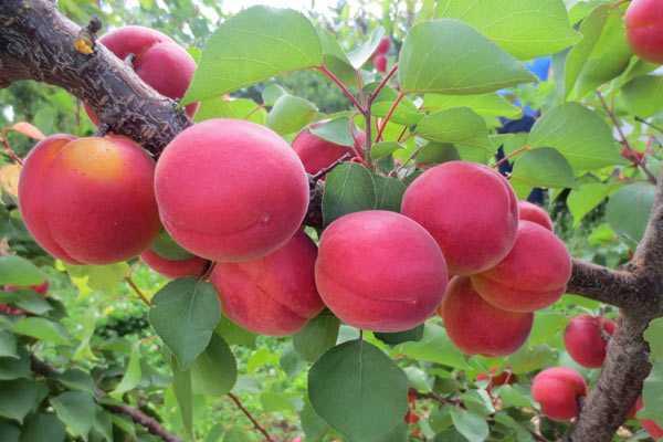Что из себя представляет абрикос сорта погремок