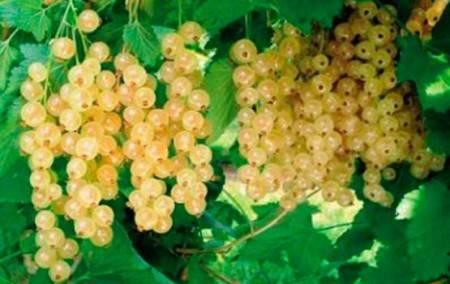 Лучшие сорта белой смородины: как правильно посадить и вырастить на участке | inwomen