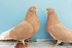 Высоколётные голуби