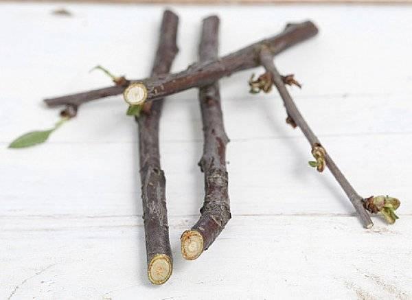 Когда распускаются почки (листья) у вишни весной