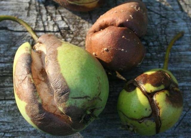 Гниют груши на дереве: причины и меры борьбы