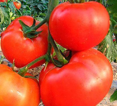 """Томат """"мясистый сахаристый"""" - томат с удивительным вкусом, описание сорта помидора и его высота"""