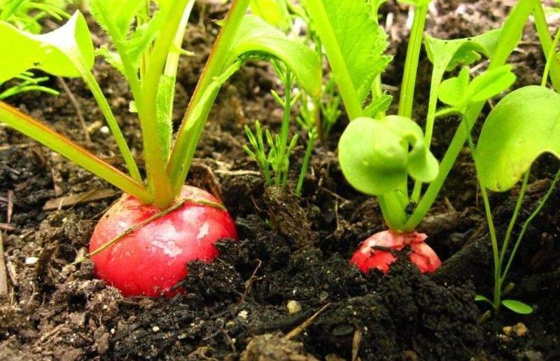Редис в теплице весной без отопления, в том числе в сибири: как правильно посадить семена, а также как производить подкормку и дальнейшее выращивание?