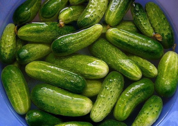 Сорта огурцов для засолки и консервирования — 6 лучших и самых популярных сортов для консервации (85 фото)