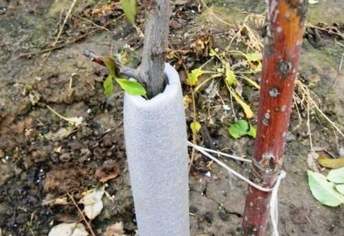 Преимущества посадки персика осенью