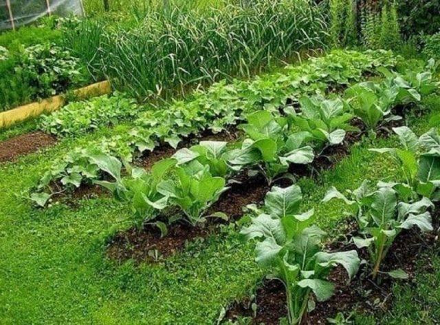 Редька масличная: описание сорта и 5 шагов агротехники