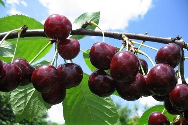 Описание сорта и характеристики плодоношения вишни гирлянда, посадка и уход