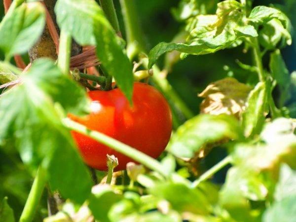Описание, характеристика и выращивания томата сорта снегирь