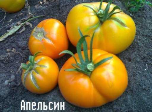 Томат Янтарный: характеристика и описание сорта
