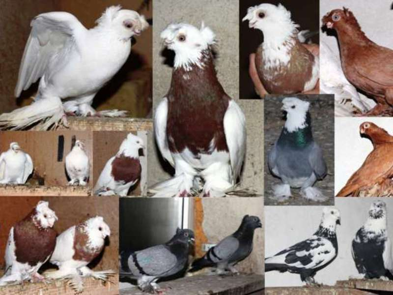 Узбекские голуби: описание породы, экстерьер, содержание