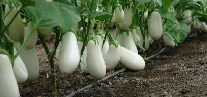 Как вырастить баклажан вкус грибов