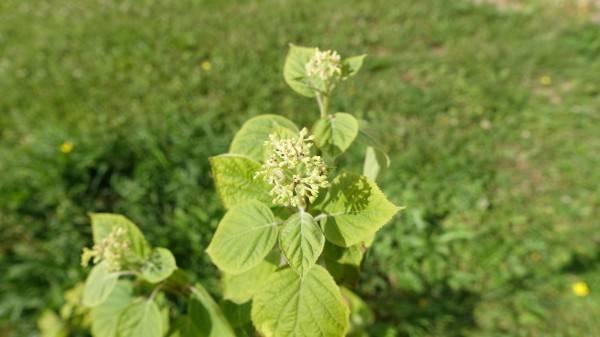 Виды метельчатых гортензий: посадка и уход в открытом грунте, размножение