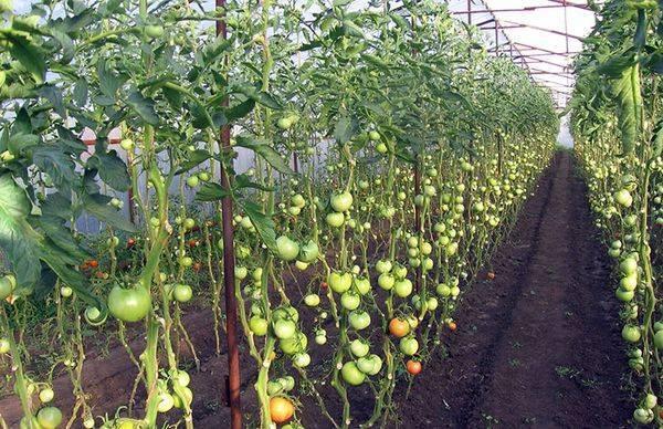 Чем опрыскивать помидоры и когда это делать лучше всего - лечение и профилактика заболеваний томатов (105 фото и видео)