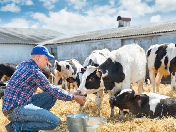 Витамины для коров: что нужно для дойных и стельных буренок, для телят для быстрого роста внутримышечно и для крс на откорме (варианты уколов) — moloko-chr.ru
