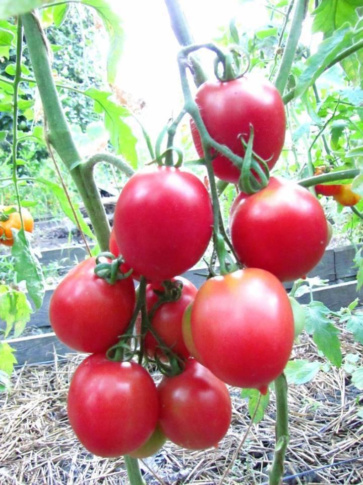 Старинный поволжский сорт сладких помидоров: обзор томата «сызранская пипочка» и тонкости его выращивания