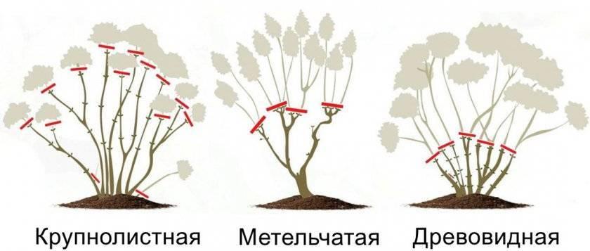 Советы садоводов: когда стоит приступать к пересадке гортензии?