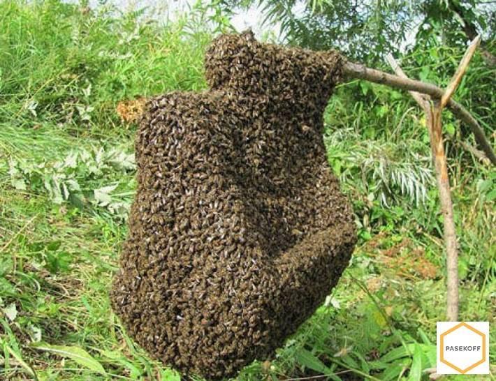 Приемы предупреждения роевого состояния пчел