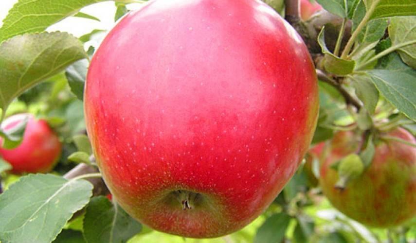 Описание и характеристики яблони сорта коваленковское, посадка, выращивание и уход
