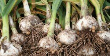 Как получить рекордный урожай рокамболя