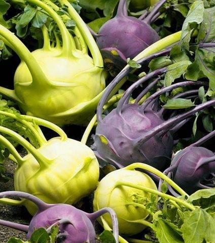 Как вырастить редьку: особенности ухода за культурой в теплице, открытом грунте и домашних условиях, а также секреты хорошего урожая и советы огородникам