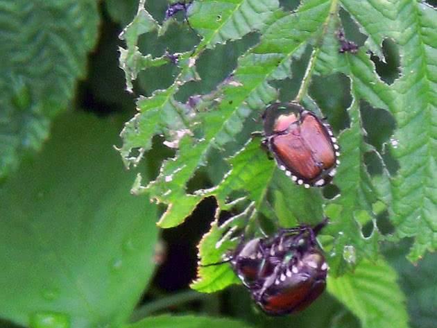 Болезни и вредители малины на садовом участке