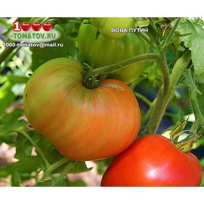 Томат вова путин: характеристика и описание сорта, фото, отзывы, урожайность