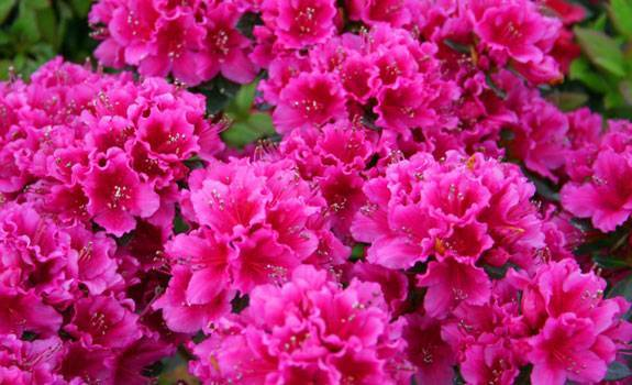 Азалия японская: описание и фото сортов ноферн хай-лайтс, арабеск, кермесина роуз, марушка и других, также посадка и уход за садовым рододендроном в открытом грунте