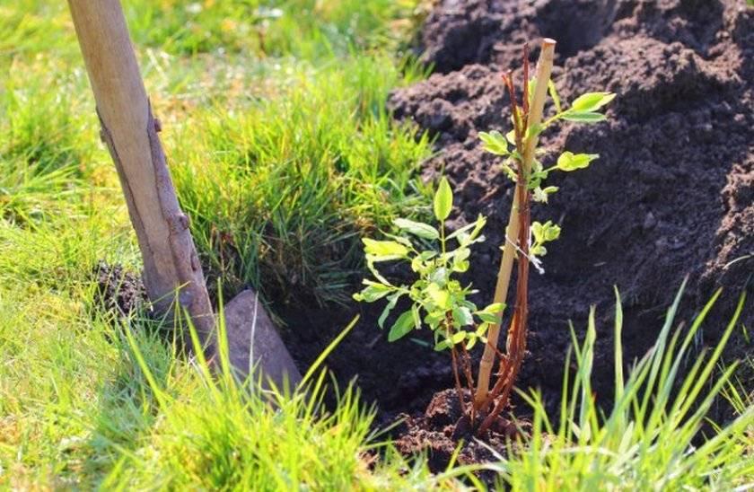 Посадка жимолости съедобной осенью и весной