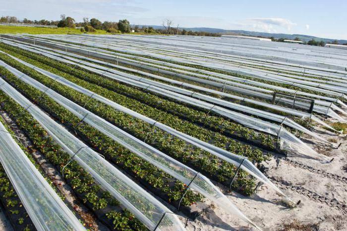 Особенности выращивания клубники в открытом грунте