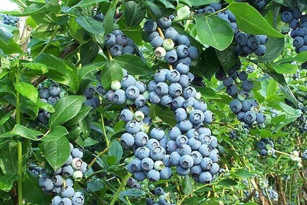 Ягода голубика – польза и вред для организма, противопоказания. народные рецепты