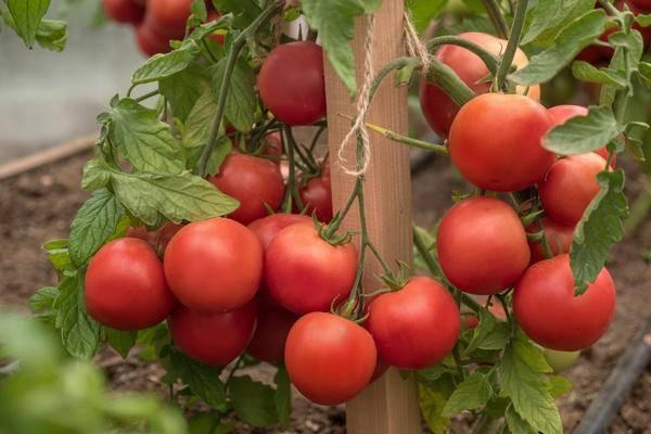 """Томат """"праздничный f1"""": описание и характеристики сорта, рекомендации по уходу за помидорами и борьба с вредителями"""