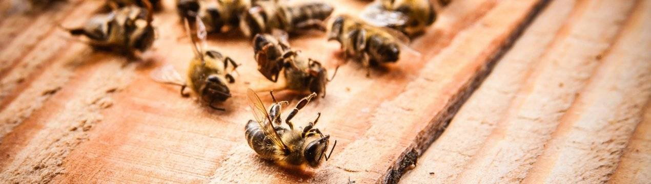 Акарапидоз у пчёл — симптомы и лечение