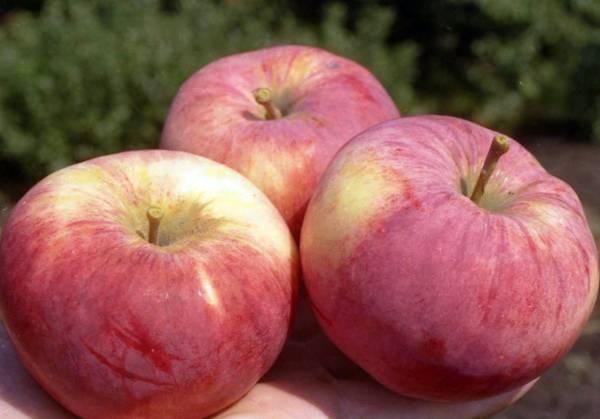 Яблоня орлинка: описание сорта, фото, отзывы садоводов