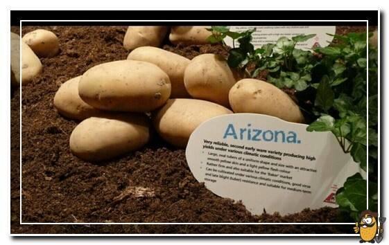 Среднеспелый неприхотливый сорт картофеля «аризона»: описание сорта, преимущества и недостатки
