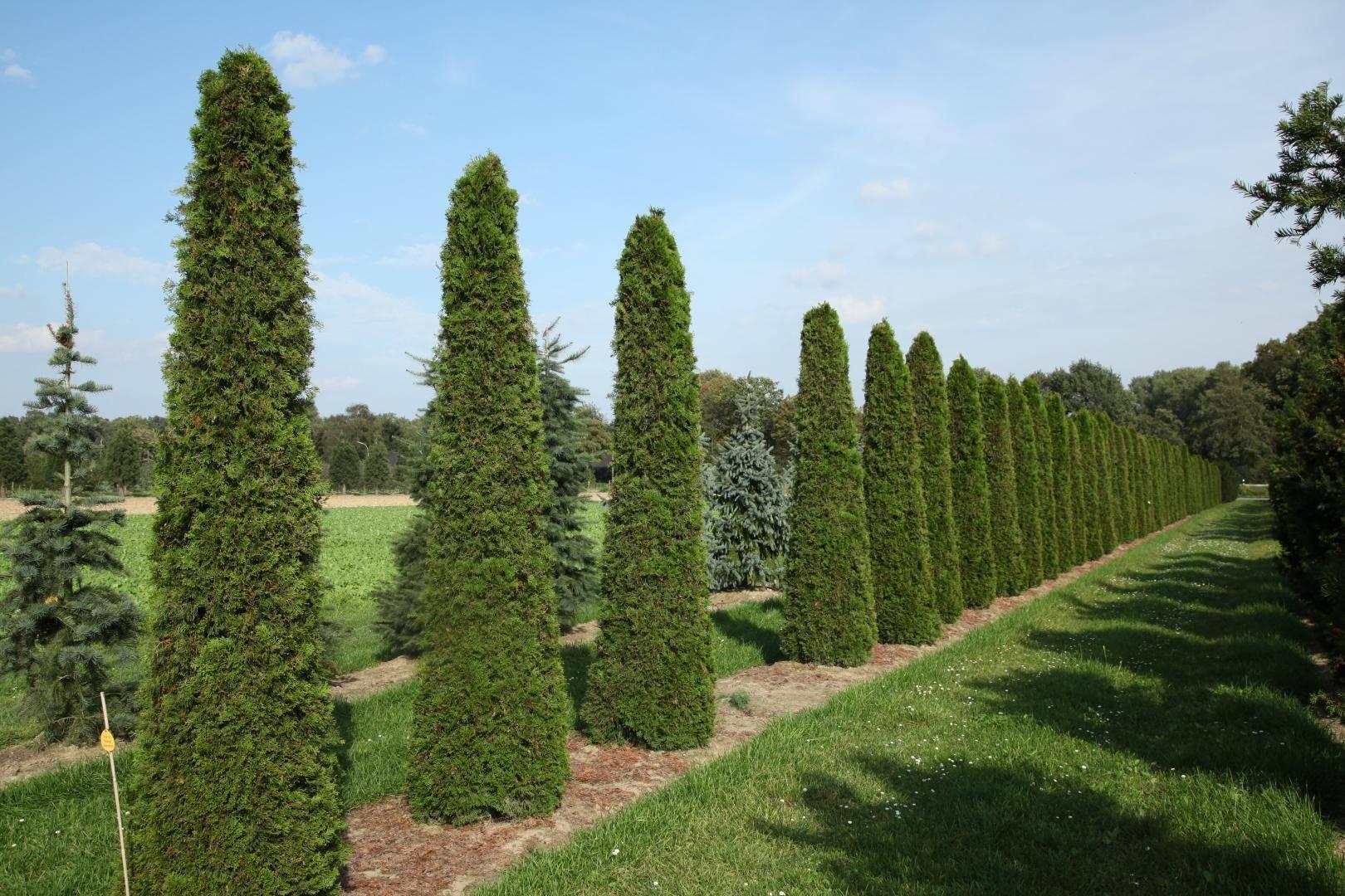 Туя «корник» (14 фото): описание сорта туи складчатой. какой высоты может достичь туя? особенности выращивания сорта