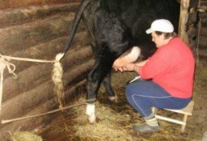 Когда корова начинает давать молоко и как раздоить ее после отела?