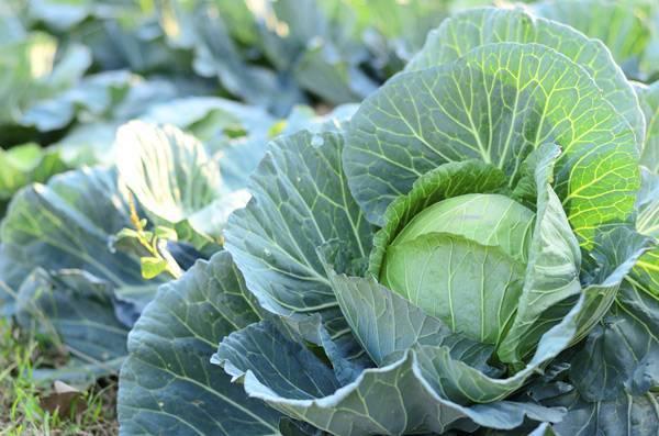 Капуста валентина: как вырастить хороший урожай, учитывая особенности сорта