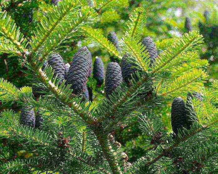 Разновидности вечнозеленого дерева - пихта темнохвойного леса