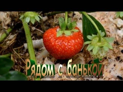 Садовая земляника (клубника) элиане