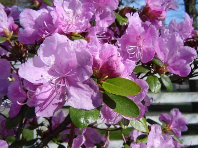 Розовое дерево или рододендрон: фото популярных сортов растения, секреты выращивания эффектного кустарника на участке
