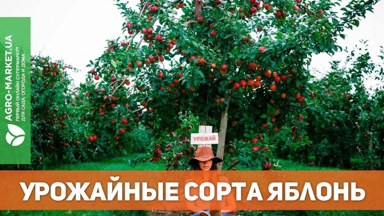 Яблоня старкримсон — особенности выращивания