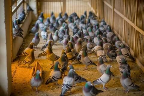 Голуби: описание и виды, образ жизни и выращивание