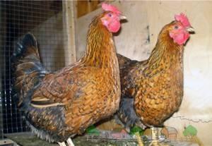 Кучинская юбилейная порода кур - описание, отзывы, фото